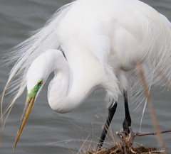 """Great Egret"" ""Ardea alba"" (jackhawk9) Tags: bird heron nature canon newjersey wildlife ngc egret southjersey greategret birdwatcher ardeaalba edwinbforsythenationalwildliferefuge fantasticnature jackhawk9"