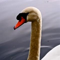 Oxford (abrossler) Tags: road family winter lake tree bird water closeup countryside sticks swan walk oxford twigs wellys birdwinter