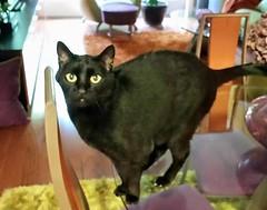 Jaguar (RaleighPetSitters) Tags: blackcat catsitter