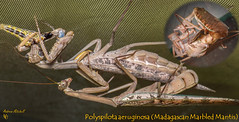 Polyspilota aeruginosa (Madagascan Marbled Mantis) (Adult pair mating) (Andrew Mitchell_Unseen Universe) Tags: macro mantis insect mitch insects mitchell prayingmantis invertebrate mantid macrophotography mantodea andrewmitchell brownmantis polyspilotaaeruginosa insectmacrophotography insectphotography brownprayingmantis madagascanmarbledmantis mantisbreeding prayingmantisbreeding mantidbreeding madagascanmantis