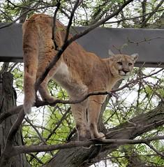 I See You Down There (greekgal.esm) Tags: philadelphia feline bigcat puma cougar mountainlion philadelphiazoo phillyzoo bigcatfalls