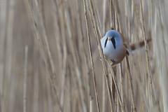 Bearded Tit (Keith Grafton) Tags: birds leightonmoss beardedtits