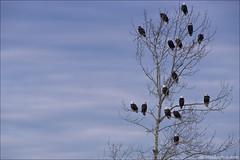 Bald Eagles (Mike Szmigielski) Tags: nikon eagle baldeagle bald eagles 300mmf28 baldeagles deltabc d4s afsnikkor300mmf28gedvrii nikonafsteleconvertertc20eiii nikonafs300mmf28gedvrii nikond4s