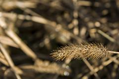 Goccie (mac89cam) Tags: plant macro nature water motif field grass yellow drops outdoor natura giallo ear organic acqua depth plot spiga goccie
