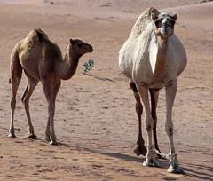 Hello (gordontour) Tags: animals desert uae arabia environment camels rak unitedarabemirates rasalkhaimah