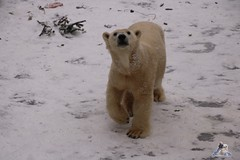 Eisbr Fiete im Zoo Rostock 23.01.2016  023 (Fruehlingsstern) Tags: vienna zoo polarbear vilma eisbr erdmnnchen fiete zoorostock geparden baumknguru canoneos750 tamron16300