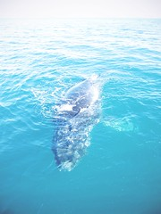 Whales in Australia   by It's Travel O'Clock (DaphneGroeneveld) Tags: travel nature its animal bay wildlife watching australia whale whales hervey welfare oclock