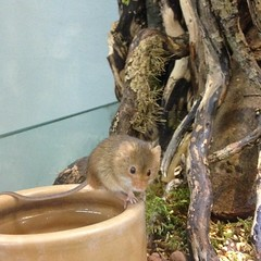 Harvest mouse on bowl (Inkysloth) Tags: life cute animal mouse mammal rodent creature harvestmouse hornimanmuseum