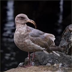 the one and only 'eagle-beak' (marneejill) Tags: seagull gull beak unusual curved deformed mutation