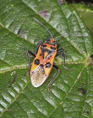 Rhopalid Bug - Corizus hyoscyami (Prank F) Tags: macro nature closeup bug insect wildlife harlestone wildlifetrust rhopalid corizushyoscyami harlestoneheath northantsuk