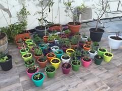 Tu BeShvat Gift Plants (Assaf Shtilman) Tags: plants pots gift tu beshvat