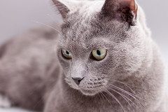 28/366 (greytendo) Tags: cat 35mm canon eos grey pablo days katze russianblue 500d onephotoeachday ilovecats 366 35mmf2 russischblau 365days 28366 366days 365project canoneos500d blauekatze 366project 365projekt 366projekt