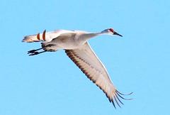 sandhill crane at Cardinal Marsh IA 854A2039 (lreis_naturalist) Tags: county cardinal crane reis iowa larry marsh sandhill winneshiek