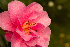 Spring comes closer (Keith in Exeter) Tags: pink flower nature wet closeup garden petals blossom bokeh outdoor decorative stamens bloom veins camellia waterdrops waterdroplets blooming anthers