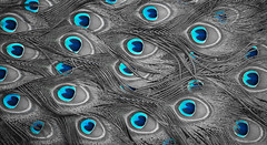 Blue Eyes (Maria Sciandra) Tags: blue mexico mexicocity turquoise aviary peacockfeathers peacocktail fujifilmx100 mariasciandraphotography polancomexicocity