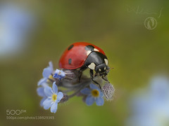Forget-me-not and the little ladybug (Big_Joker) Tags: pink flowers blue red summer flower green me beautiful beauty animal animals bug garden insect spring wildlife beetle insects charm lucky ladybug forget glcksbringer 500px