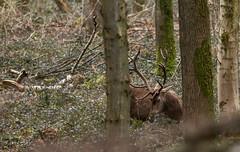 Le repas de l'ancien (Eric Penet) Tags: wild france nature animal stag wildlife hiver grand deer fort nord mammifre cerf sauvage cervus cervid mle avesnois mormal cerflaphe laphe cerfelaphe
