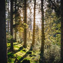Spring Forest (*trevor) Tags: trees forest march spring fujifilm mossy aberfoyle queenelizabethforestpark xt1