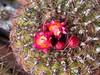 Oroya peruviana (bunkenburg) Tags: cactaceae 15000 oroya oroyaperuviana