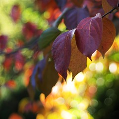 kaki leaves (SS) Tags: autumn light red italy orange plant tree green colors yellow garden bokeh foliage squareformat lazio colorpalette 2015 diospyroskaki smcpentaxm50mmf17 pentaxk5 ss