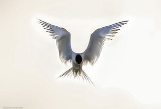 Tern hover..