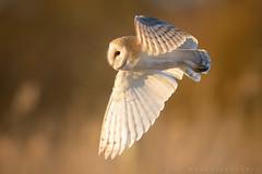 Barn Owl (Tyto alba) (benstaceyphotography) Tags: wildlife goldenhour sunset birdofprey aves barnowl tytoalba predator bird hunt hunting conservation rspb owl