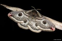 Saturnia pavonia (Linnaeus, 1758) (Haraldseide) Tags: moth lepidoptera saturnia pavonia saturniapavonia saturniidae emperormoth