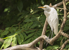 Great Egret (Photo Kubitza) Tags: winter vacation brown white black green bird heron nature animals fauna standing geotagged costarica sitting outdoor perched midday geotag egret greategret alajuela heredia riofrio ardeaalba travelphotography canonegro loschiles