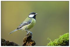Great Tit - Koolmees (Parus major) (Martha de Jong-Lantink) Tags: bird birds vogels zeeland greattit parusmajor vogel koolmees 2015 koolmeesje stichtinghetzeeuwselandschap boshutclinge
