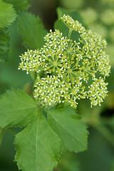 Alexanders (Smyrnium olusatrum) (greggys stuff) Tags: march alexanders gower overton umbelliferae smyrniumolusatrum