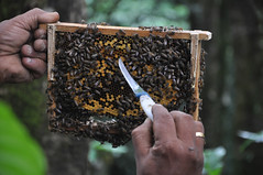 Bee colony (mansi-shah) Tags: rainforest farming coorg madikeri forestecology mansishah rainforestretreat jenniferpierce ceptsummerschool