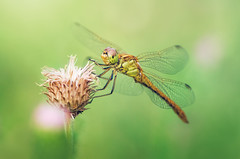 Summer (Pásztor András) Tags: macro green eye grass closeup lens photography nikon hungary dragonfly outdoor wing sigma stack dslr nautre detailed andras 105mm pasztor d5100