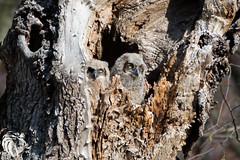 Twin Owlets (RGL_Photography) Tags: newjersey wildlife raptor owl ornithology birdwatching raptors birdsofprey greathornedowl strigiformes bubovirginianus bergencounty wildlifephotography owlets familystrigidae nikond610 nikonafs200500mmf56eedvr