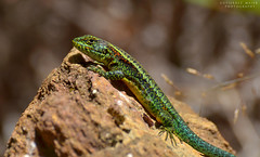 Liolaemus pictus , Orange-bellied lizard (Pabloskino) Tags: chile parque orange green argentina up yellow fauna de photography colorful close wildlife lizard gutierrez lagarto lagartija bellied reptiles valdivia herpetology reptil chilena maier pictus orangebellied liolaemus oncol
