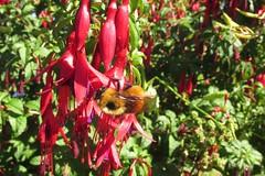 Pazi Flora Ancud, Chilo 07 feb 2016x (shungunngho) Tags: 2213