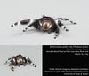 Bold jumping spider (Phidippus audax) (insectsunlocked) Tags: bigeyes arachnida audax araneae phidippus salticidae boldjumpingspider cutespider malejumpingspider largejumpingspider