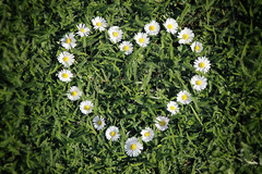 my love (bauingenieuse) Tags: white green love daisies garden spring heart blossom outdoor belly daisy gras grn lovely blte garten herz kranz springtime frhling gnseblmchen 2016 frhjahr bauingenieuse