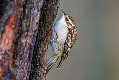 JWL6544 Treecreeper.. (jefflack Wildlife&Nature) Tags: nature birds animal animals countryside woodlands wildlife avian songbirds treecreeper wildbirds