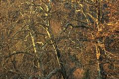 Cheveux de bois / Woody hairs (Pito Charles) Tags: wood france alps detail macro annecy texture nature alpes canon plante french outside soleil woods focus natural zoom naturallight sunny arbres savoie arbre franais plantes haute francais lumirenaturelle hautesavoie chaleur rhonealpes rhnealpes 70d canoneos70d