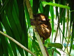 P1030162 (NL60D) Tags: monkey travels asia philippines bohol tarsier chocolatehills worldtraveller