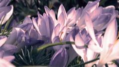 Krokustraum (MarWen26) Tags: sun flower grass photoshop germany deutschland march spring dream gimp blumen fujifilm gras beet sonne mrz krokus effekt frhling traum infrarot