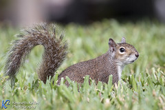 Gray Squirrel on the Lawn (Kenneth Keifer) Tags: park wild cute nature grass animal fur mammal rodent furry squirrel feeding little critter wildlife tail small lawn ground bark stare creature rodentia graysquirrel greysquirrel bushy easterngraysquirrel botheyes eastergreysquirrell