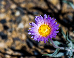 She loves me not (Meteorseeker) Tags: flowers mountains flower nature canon outside desert outdoor wildlife nevada canyon catcus deserttortise tortise mountainpeak canon60d canonfanphotography