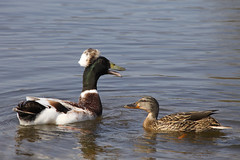 Spring Courting (defblow) Tags: london nature spring ranger ducks pairs mallard crested courting quacking abacot