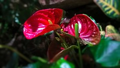 WP_20150823_18_17_59_Pro (Mado AwaD) Tags: red plant flower green nature dark ma real groen august rood planten bloem mado 2015