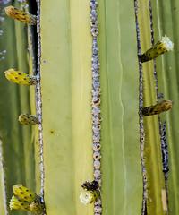 Backyard Cactus 045 (ljguitar) Tags: quail centuryplant suncitywest backyardcactus petemarilyn