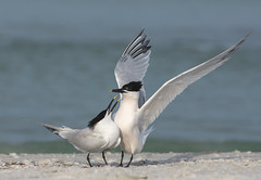 Making Sandwiches (PeterBrannon) Tags: ocean bird nature florida wildlife tern sandwichtern courtship pinellascounty florda thalasseussandvicensis