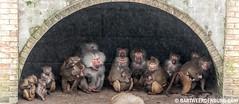Schuilen voor de regen (Bart Weerdenburg) Tags: rain zoo regen amersfoort baviaan dierentuin dierenpark bavianen schuilen dierenparkamersfoort mantelbaviaan dierentuinamersfoort
