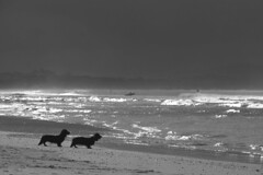 dogsbeach (marennl) Tags: ocean life sea blackandwhite bw beach dogs nature water monochrome animals bay blackwhite moment byron
