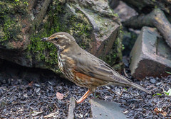 Redwing (worlknut) Tags: bird canon flash 7d mk2 pennington redwing migrant